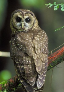 Northern Spotted owl - public domain - cropped