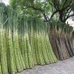 Sugar Cane - Wikimedia Commons